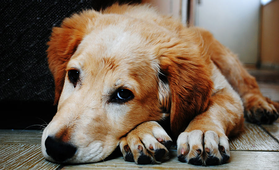 Vestir o no vestir a los perros: un placer cuestionable