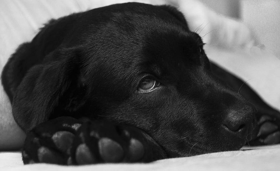 Las 7 enfermedades caninas más habituales