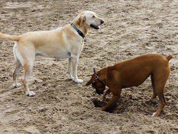 por que los perros comen tierra